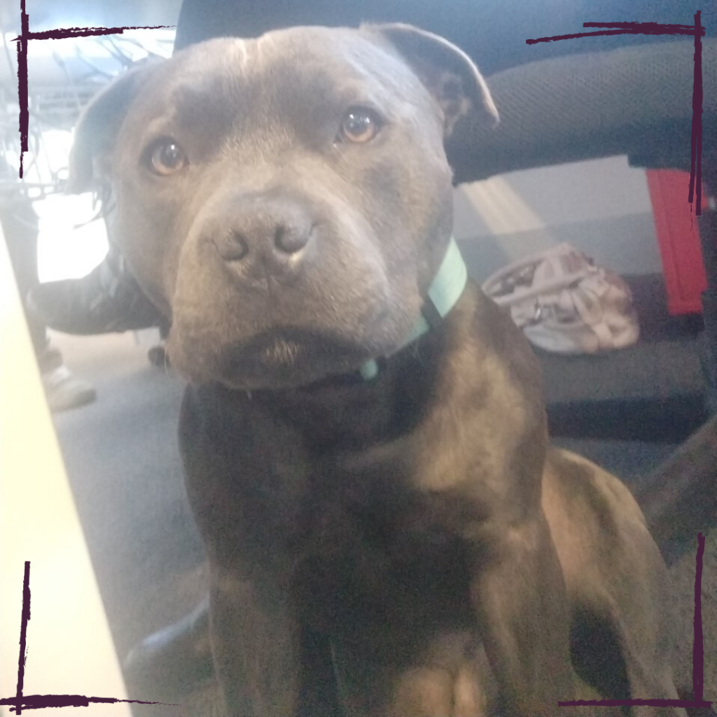 Dudley is a staffy who inhabits the Boost Juice / Retail Zoo office when his owner is at work.